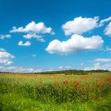 Πράσινος τομέας καλαμποκιού με τα λουλούδια και το μπλε ουρανό παπαρουνών Στοκ Φωτογραφία