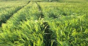 Πράσινος τομέας κριθαριού από η ελαφριά που κυματίζει εναέρια άποψη θερινού αέρα φιλμ μικρού μήκους