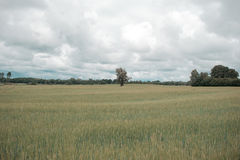 Πράσινος τομέας κριθαριού με το δάσος στο υπόβαθρο μια νεφελώδη ημέρα στοκ εικόνες