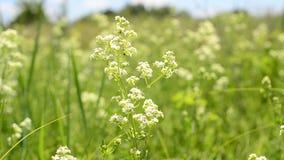 Πράσινος τομέας με τα άσπρα λουλούδια απόθεμα βίντεο
