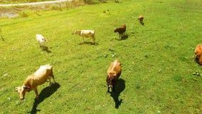 Πράσινος τομέας με τη βοσκή των αγελάδων, της επιχείρησης βοοειδές-αναπαραγωγής και καλλιέργειας στη Γεωργία στοκ φωτογραφίες με δικαίωμα ελεύθερης χρήσης