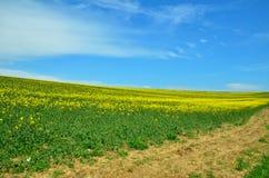 Πράσινος τομέας με τον κίτρινο βιασμό Στοκ εικόνα με δικαίωμα ελεύθερης χρήσης