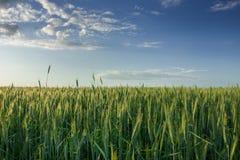Πράσινος τομέας με το σιτάρι και άσπρα σύννεφα στο μπλε ουρανό στοκ φωτογραφίες με δικαίωμα ελεύθερης χρήσης