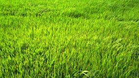 Πράσινος τομέας ορυζώνα απόθεμα βίντεο