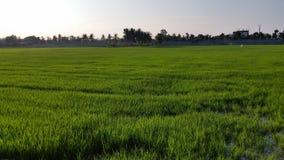 Πράσινος τομέας ρυζιού στην Ταϊλάνδη που περιμένει να συγκομίσει Στοκ Φωτογραφία
