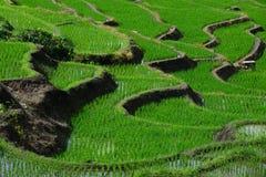 Πράσινος τομέας ρυζιού Στοκ Εικόνα
