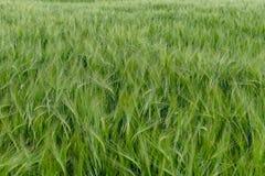 Πράσινος τομέας σίκαλης στοκ φωτογραφίες με δικαίωμα ελεύθερης χρήσης