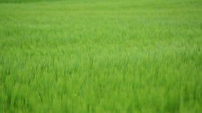 Πράσινος τομέας σίτου κάτω από το δραματικό νεφελώδη ουρανό Νέες συγκομιδές σίτου που αυξάνονται σε έναν γεωργικό τομέα Γεωργία κ απόθεμα βίντεο