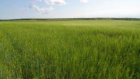 Πράσινος τομέας σίτου κάτω από το δραματικό νεφελώδη ουρανό Νέες συγκομιδές σίτου που αυξάνονται σε έναν γεωργικό τομέα Γεωργία κ φιλμ μικρού μήκους