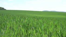 Πράσινος τομέας σίτου σε ένα υπόβαθρο των βουνών φιλμ μικρού μήκους