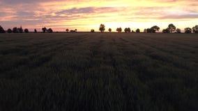 Πράσινος τομέας σίτου στο ηλιοβασίλεμα, εναέρια άποψη απόθεμα βίντεο