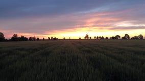Πράσινος τομέας σίτου στο ηλιοβασίλεμα, εναέρια άποψη φιλμ μικρού μήκους