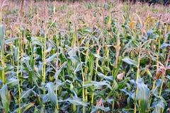 Πράσινος τομέας του καλαμποκιού πολλοί πράσινοι μίσχοι και φύλλα στοκ εικόνα
