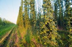 Πράσινος τομέας λυκίσκων Στοκ Εικόνα