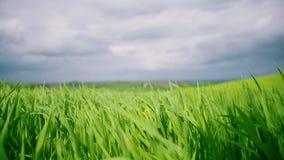 Πράσινος τομέας χλόης κάτω από το μπλε ουρανό Χλόη που ταλαντεύεται στον αέρα φιλμ μικρού μήκους