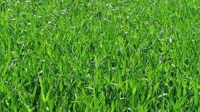Πράσινος τομέας χλόης στην ηλιόλουστη θυελλώδη ημέρα άνοιξη, φύλλωμα φύσης απόθεμα βίντεο