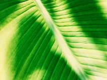 Πράσινος τροπικός στενός επάνω φύλλων Στοκ εικόνες με δικαίωμα ελεύθερης χρήσης