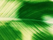 Πράσινος τροπικός στενός επάνω φύλλων Στοκ Φωτογραφίες