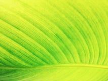 Πράσινος τροπικός στενός επάνω φύλλων Στοκ Εικόνες