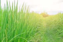 Πράσινος τρόπος πορειών τομέων χλόης ρυζιού με το φως ήλιων Στοκ φωτογραφία με δικαίωμα ελεύθερης χρήσης