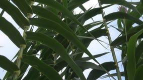 Πράσινος υψηλός κάλαμος Υψηλός διακοσμητικός των καλάμων φιλμ μικρού μήκους