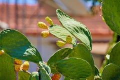 Πράσινος φαγώσιμος κάκτος της ηλιόλουστης Κύπρου στοκ φωτογραφίες