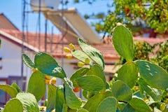 Πράσινος φαγώσιμος κάκτος της ηλιόλουστης Κύπρου στοκ εικόνα