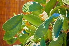 Πράσινος φαγώσιμος κάκτος της ηλιόλουστης Κύπρου στοκ φωτογραφία με δικαίωμα ελεύθερης χρήσης