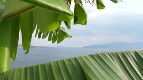 πράσινος φοίνικας φύλλων καρπών λουλουδιών μπανανών ανασκόπησης φιλμ μικρού μήκους