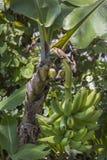 πράσινος φοίνικας φύλλων καρπών λουλουδιών μπανανών ανασκόπησης Στοκ φωτογραφία με δικαίωμα ελεύθερης χρήσης