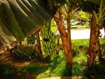 πράσινος φοίνικας φύλλων καρπών λουλουδιών μπανανών ανασκόπησης Στοκ Φωτογραφία