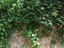 Πράσινος φράκτης πετρών κισσών με τα μικρά κόκκινα ανθίζοντας λουλούδια Στοκ φωτογραφία με δικαίωμα ελεύθερης χρήσης
