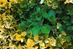 Πράσινος φράκτης (verdant φράκτης) στοκ εικόνα με δικαίωμα ελεύθερης χρήσης