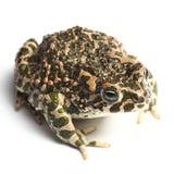 Πράσινος φρύνος (viridis Bufo) Στοκ εικόνες με δικαίωμα ελεύθερης χρήσης