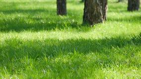 Πράσινος χορτοτάπητας στο πάρκο, ακτίνες ήλιων απόθεμα βίντεο