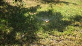 Πράσινος χορτοτάπητας στο πάρκο, στον κήπο το πρωί που ποτίζεται r r απόθεμα βίντεο