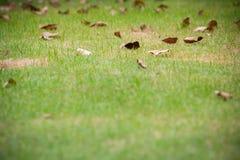 πράσινος χορτοτάπητας χλόης με τα ξηρά φύλλα, τομέας χλόης στον κήπο με τα σωριασμένα ξηρά φύλλα Στοκ φωτογραφία με δικαίωμα ελεύθερης χρήσης
