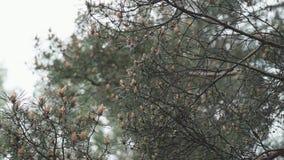 Πράσινος όμορφος κλάδος αγριόπευκων με τους κώνους o απόθεμα βίντεο