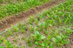 Πράσινος choy στο φυτικό κήπο Στοκ εικόνα με δικαίωμα ελεύθερης χρήσης