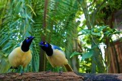 πράσινος jay στοκ φωτογραφία με δικαίωμα ελεύθερης χρήσης