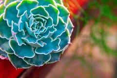 Πράσινος succulent με τα juicy παχιά φύλλα ανθοδεσμών Όμορφα γαλαζοπράσινα φύλλα πιάτων που κρεμούν από το ράφι για τα φυτά διάστ Στοκ Φωτογραφίες
