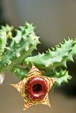 Πράσινος Succulent με το καφετί λουλούδι. Στοκ φωτογραφίες με δικαίωμα ελεύθερης χρήσης