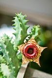 Πράσινος Succulent με το καφετί λουλούδι. Στοκ Εικόνες