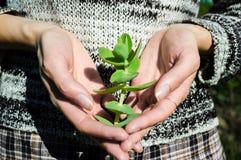 Πράσινος succulent στα κομψά θηλυκά χέρια Στοκ φωτογραφίες με δικαίωμα ελεύθερης χρήσης