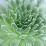 Πράσινος Succulent στενός επάνω Echeveria Στοκ Φωτογραφία