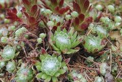 Πράσινος succulent arachnoideum Sempervivum Στοκ εικόνα με δικαίωμα ελεύθερης χρήσης