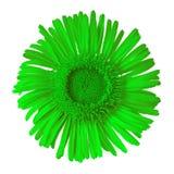 Πράσινο άγριο λουλούδι που απομονώνεται στο άσπρο υπόβαθρο στενό λουλούδι οφθαλμών Στοκ Εικόνες