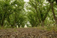 Πράσινο άλσος πεκάν το φθινόπωρο στοκ φωτογραφία με δικαίωμα ελεύθερης χρήσης