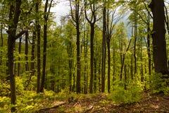 Πράσινο δάσος άνοιξη στις ακτίνες ήλιων Στοκ Εικόνες