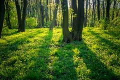 Πράσινο δάσος άνοιξη στις ακτίνες ήλιων Στοκ Φωτογραφίες